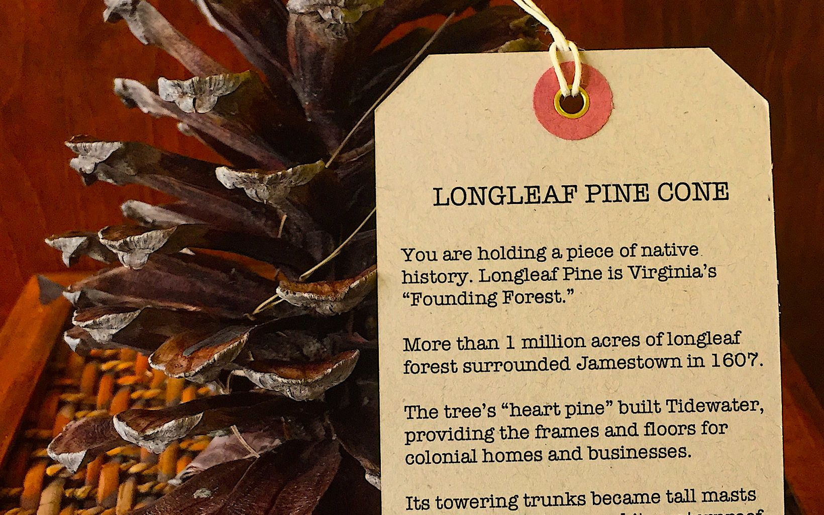 "A longleaf pinecone with tag reading in part, ""You are holding a piece of native history. Longleaf pine is Virginia's 'Founding Forest'."""