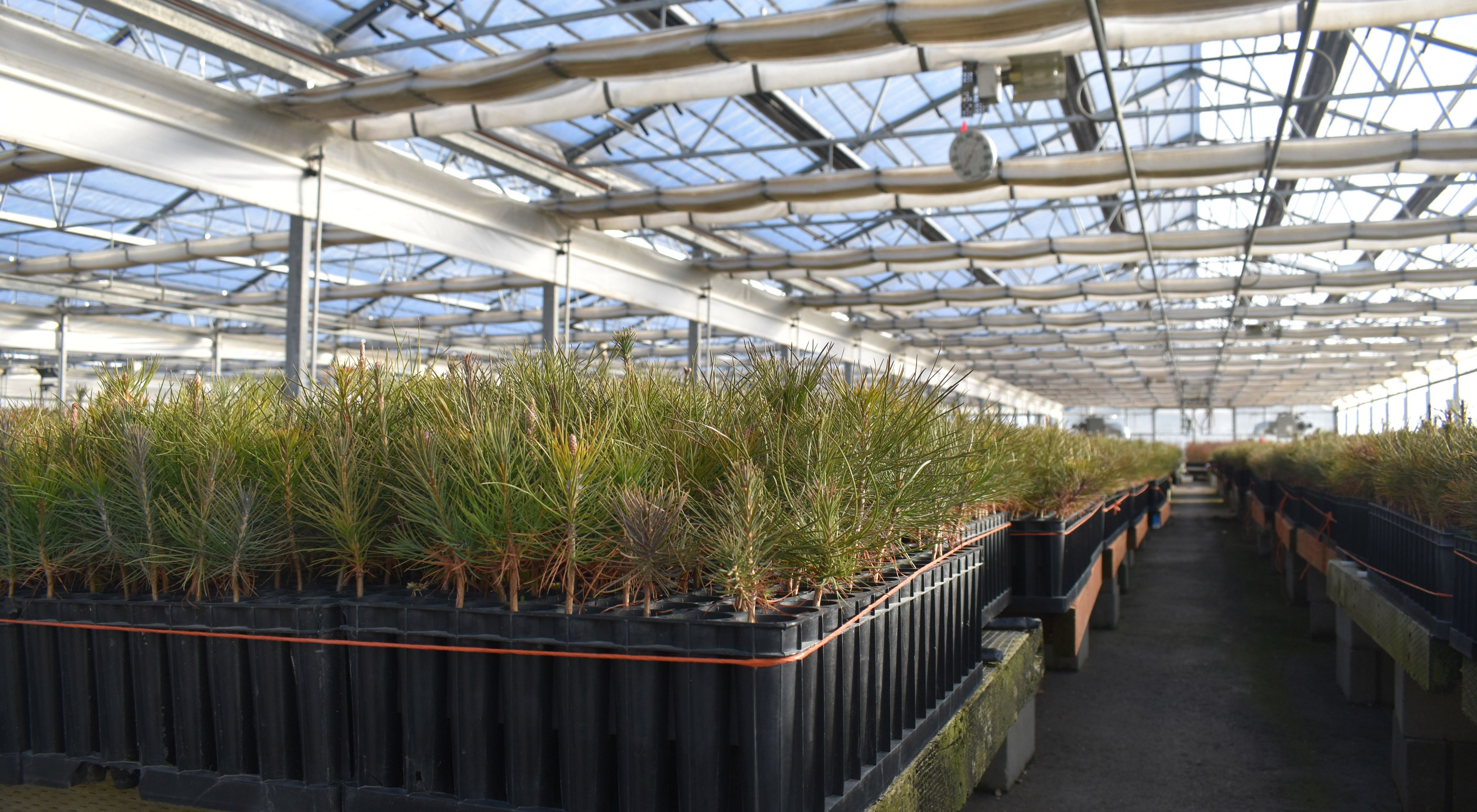 A greenhouse with long rows of evergreen tree seedlings arrayed on tables.