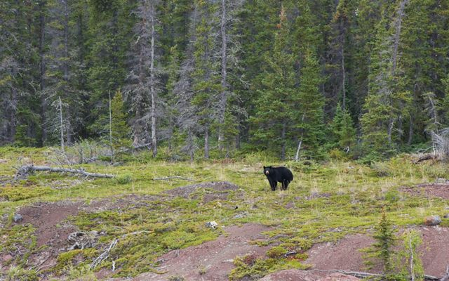 black bear in a forest clearing in thaidene nene national park in canada's northwest territories