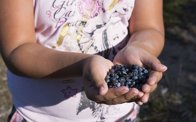 first nation girl holds a handful of freshly picked blueberries in her hands