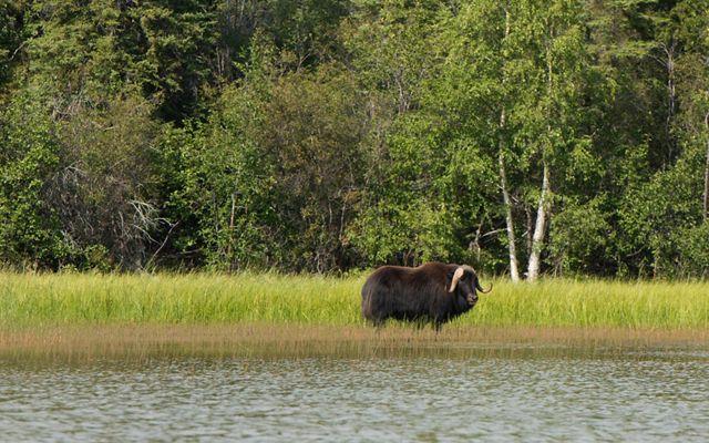 muskox in wetland near forest at thaidene nene national park in canada's northwest territories