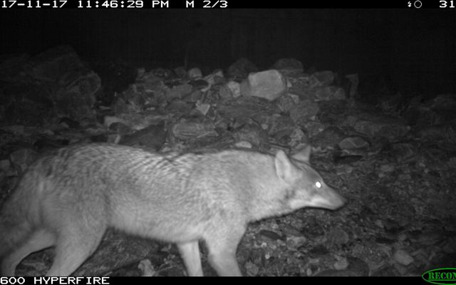 Black and white image of a coyote caught on a wild life camera at night.