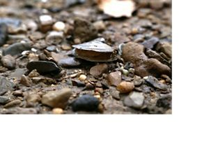 An open mussel shell sits in sandy soil.