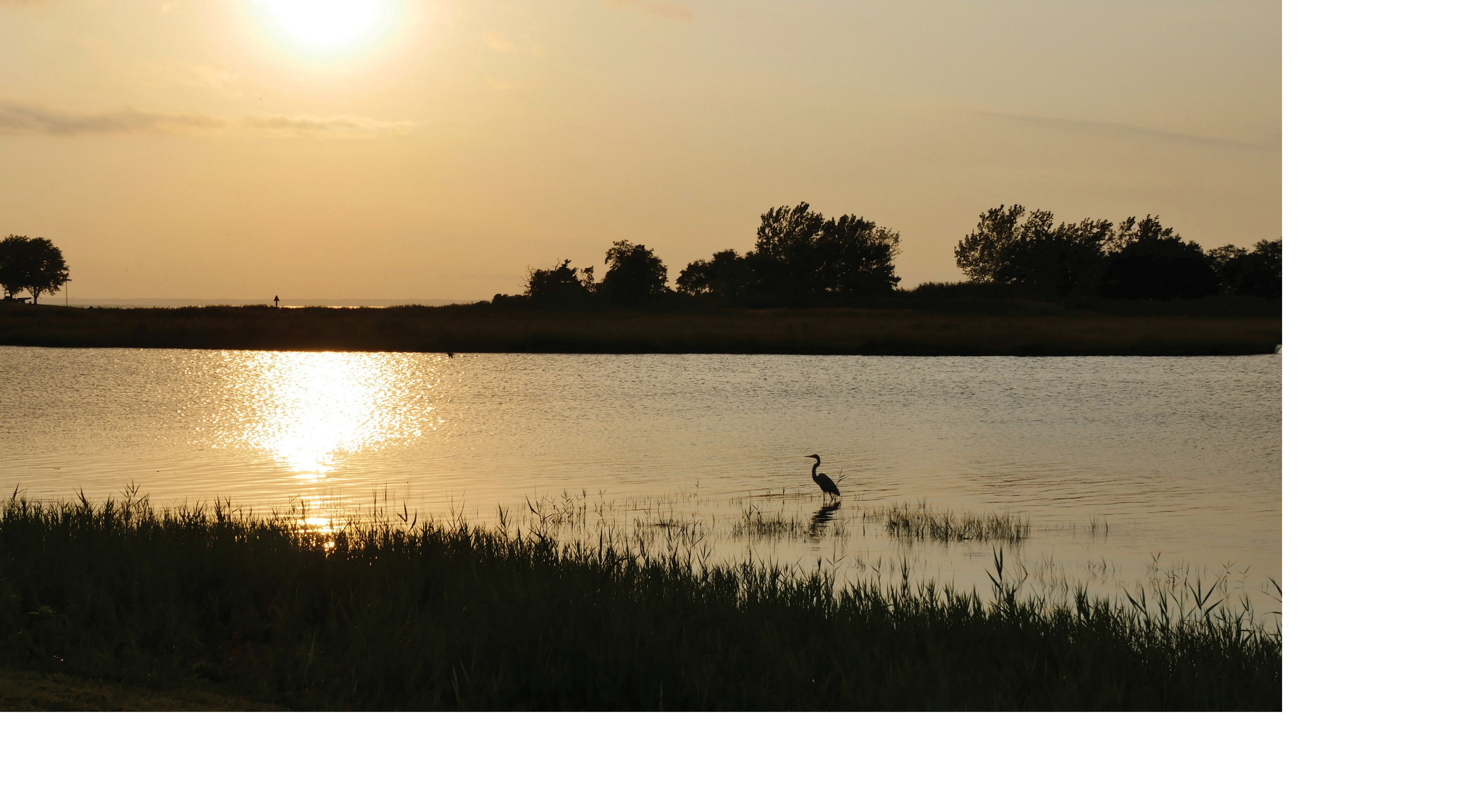 A great blue heron hunts for fish on the Chesapeake Bay.