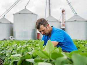 A man wearing a blue shirt kneels between rows of short, leafy plants. Four tall silver silos line the horizon behind him.