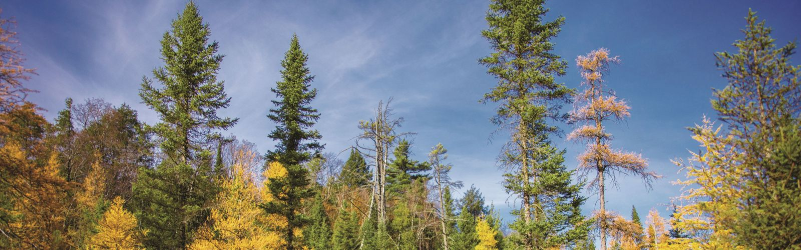 A forest tree line in autumn.