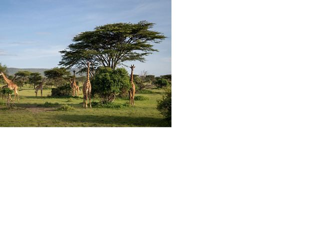 Giraffes now have more space to move freely in many areas of Kenya'Pardamat Conservation Area.