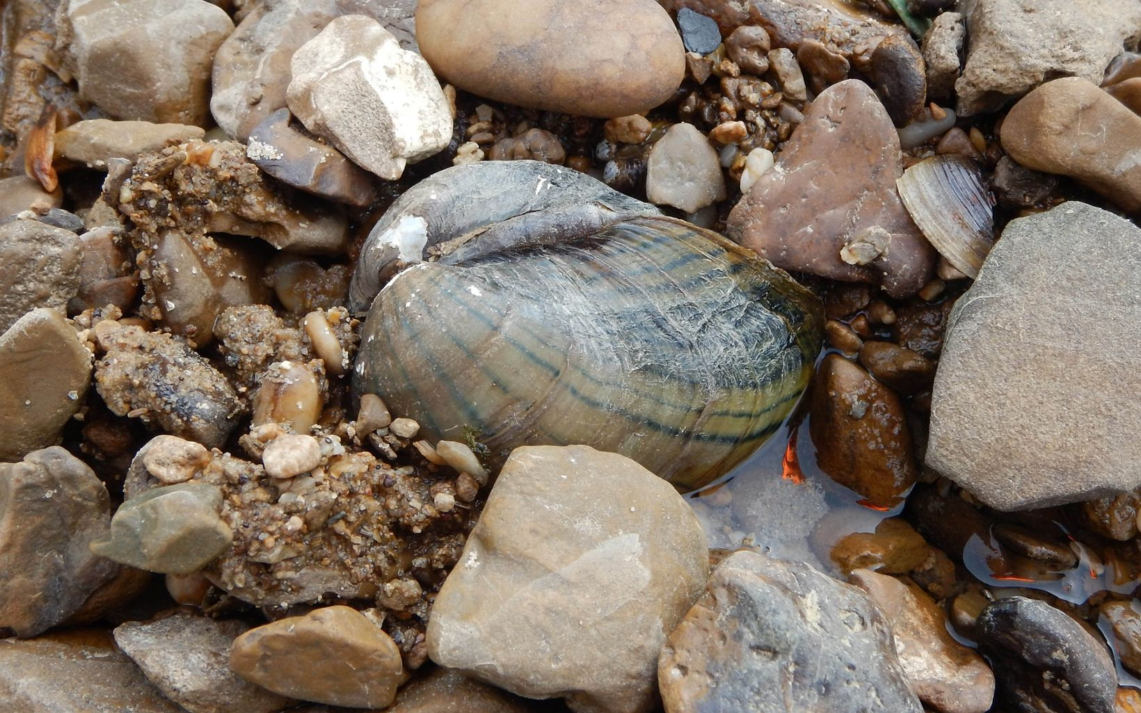 A collection of mussels are found along a riverbank.