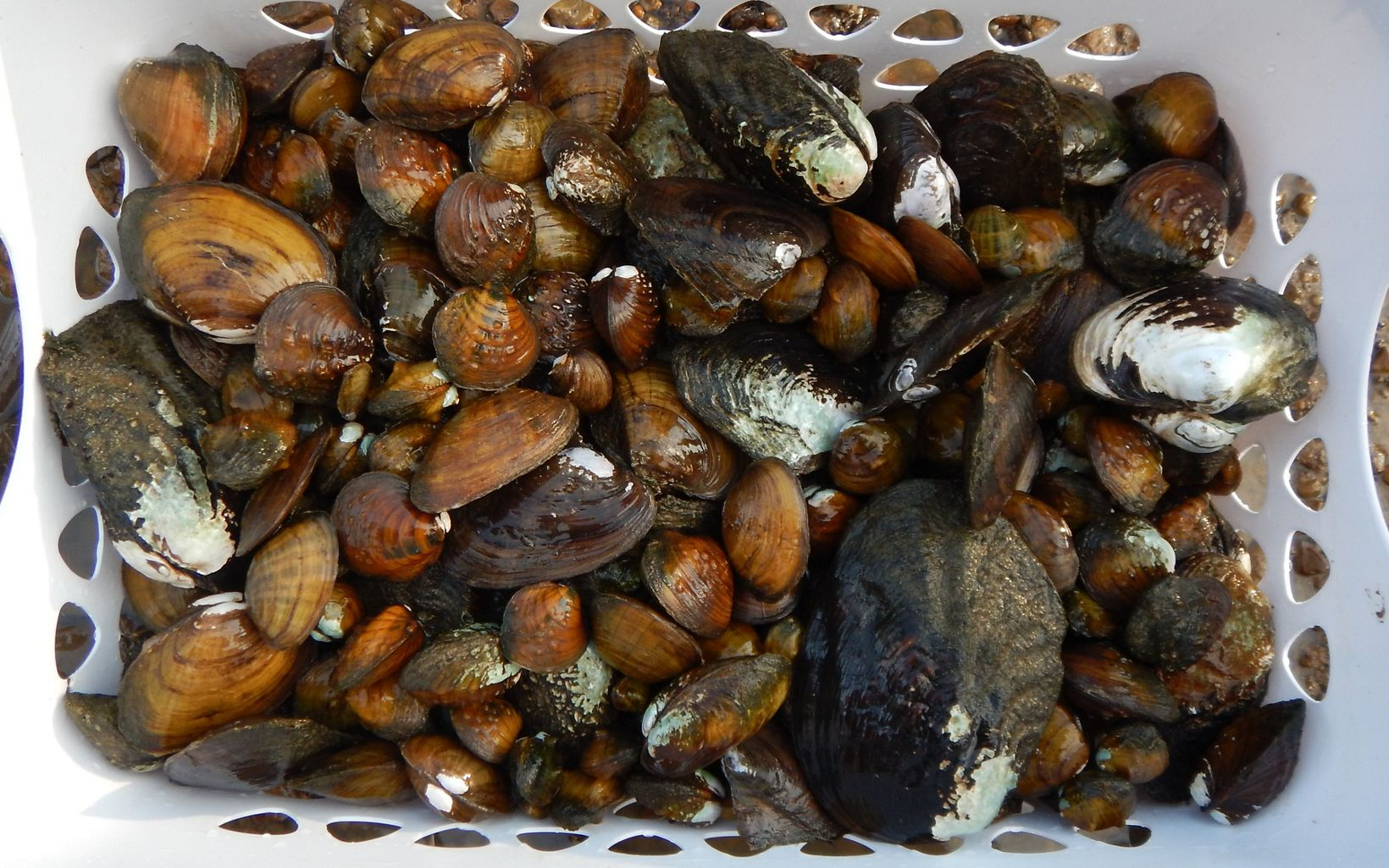 An assemblage of mussels is stored in a laundry basket.