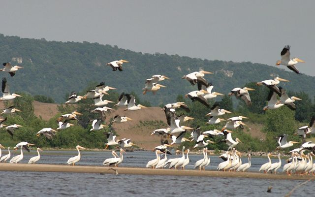 Photo of white pelicans standing and flying in the Upper Mississippi River basin.