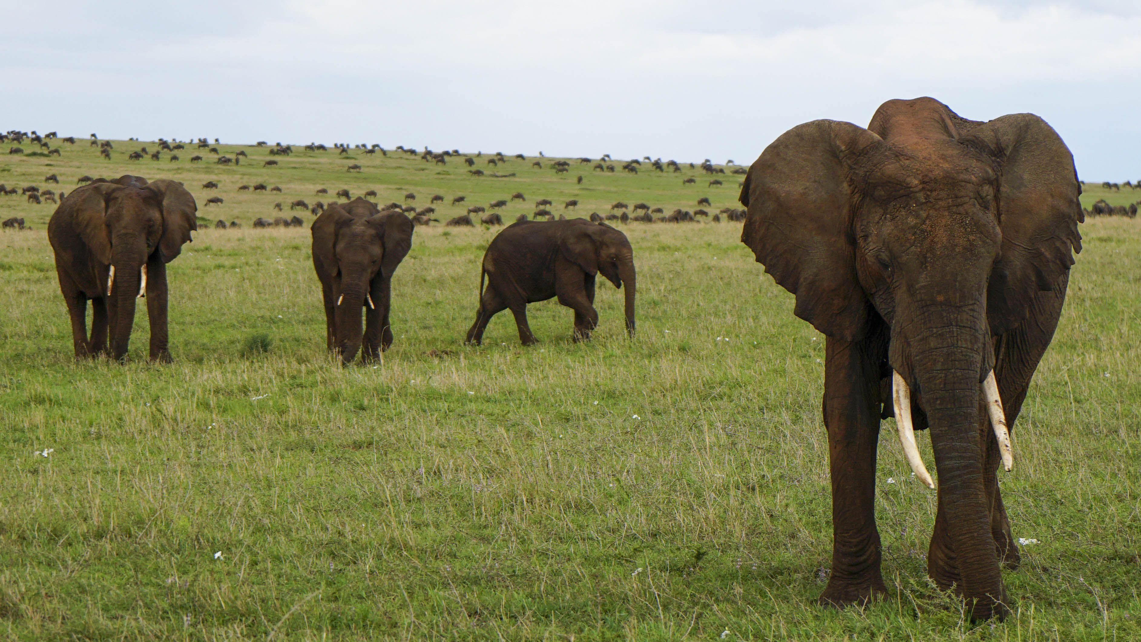 four elephants stand in a line