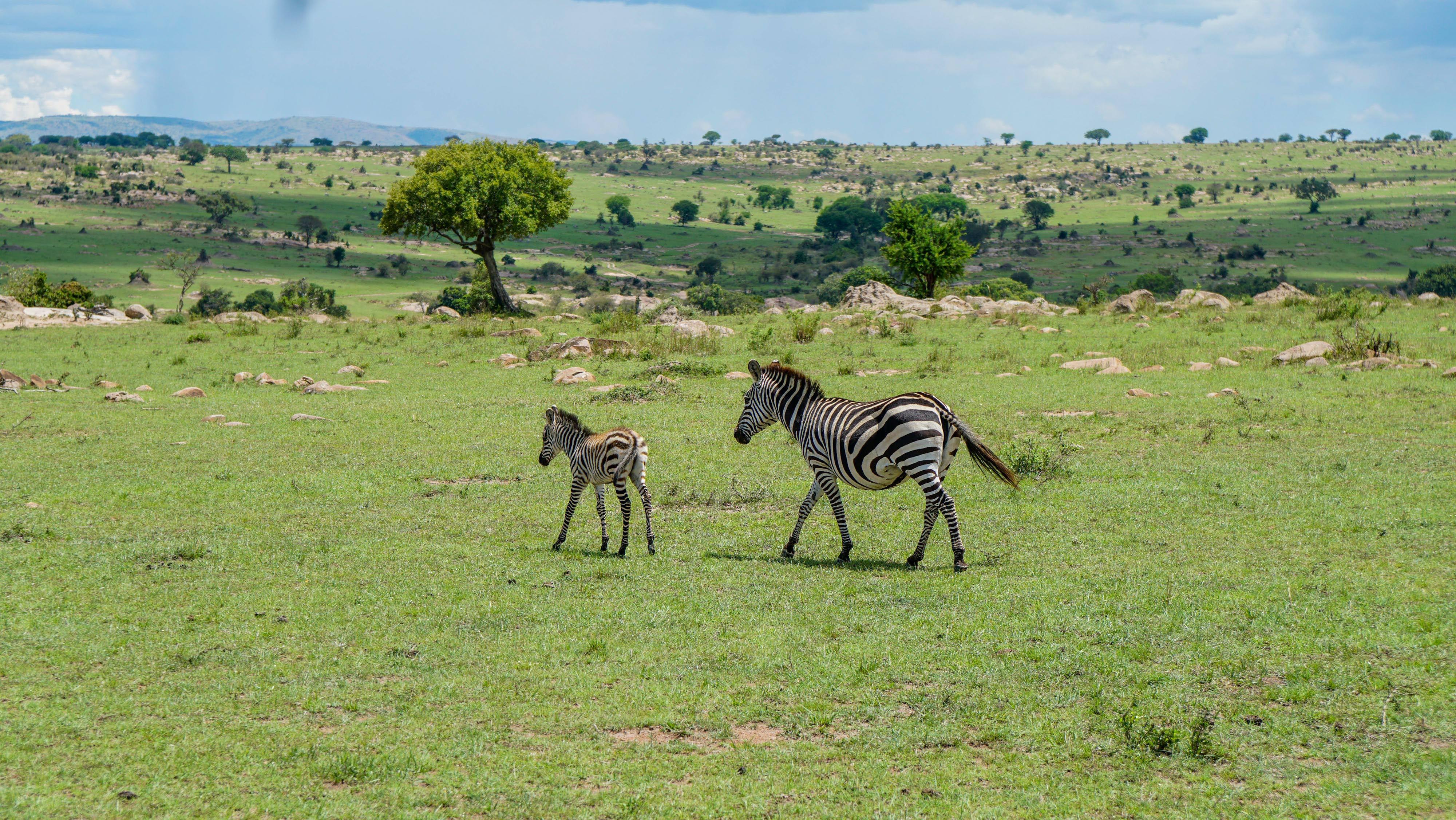 Two zebras walking in an open field