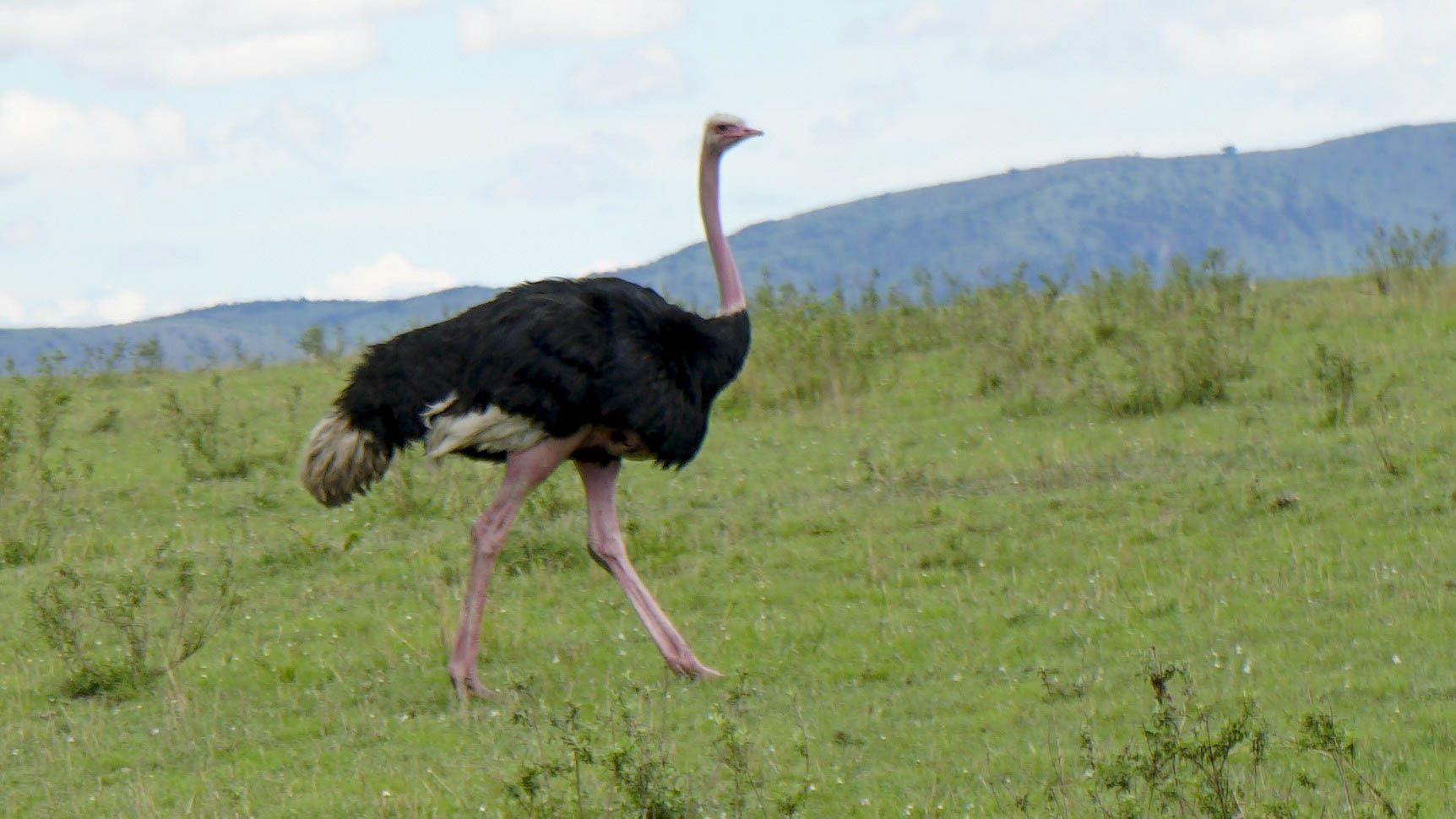 an adult ostrich walks in an open field