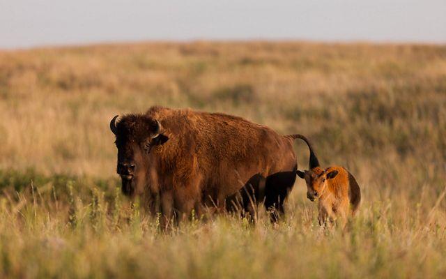 A brown and white striped prairie chicken with large, round orange balls at the neck, strutting through grass.