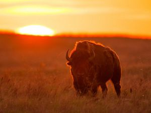 A bison standing in a field backlit by the bright orange setting sun.