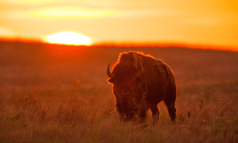 bison at sunset.