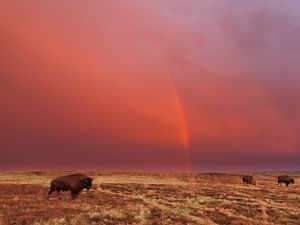Bison and rainbow at TNC's Cross Ranch preserve in Nort