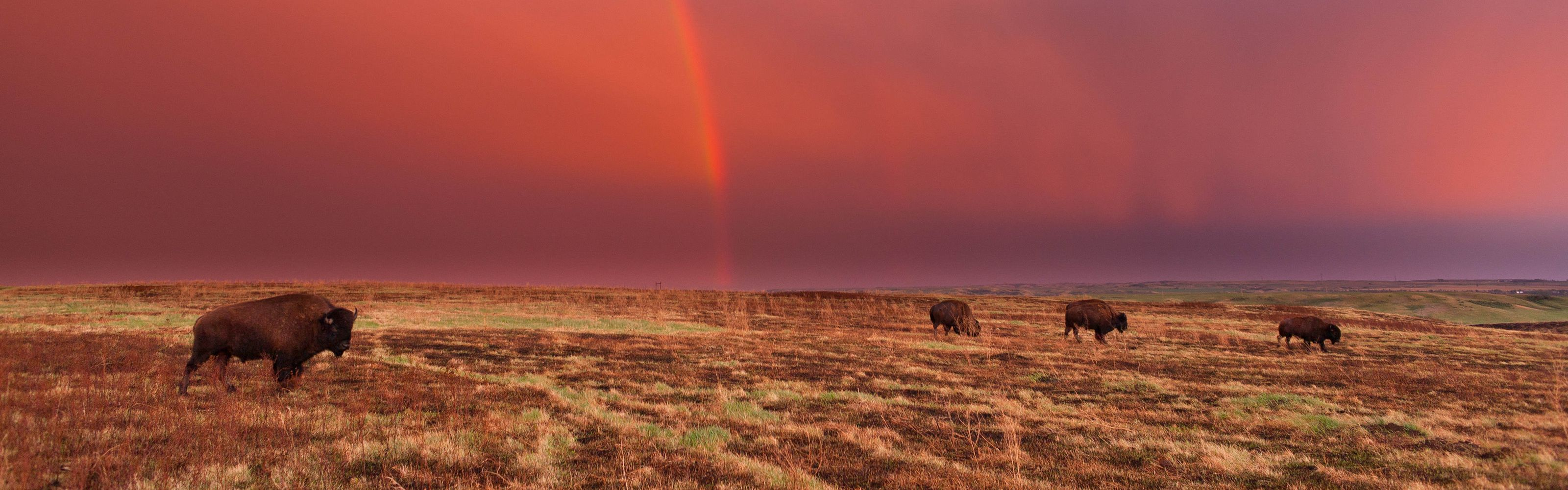Bison and rainbow at TNC's Cross Ranch preserve in North Dakota.