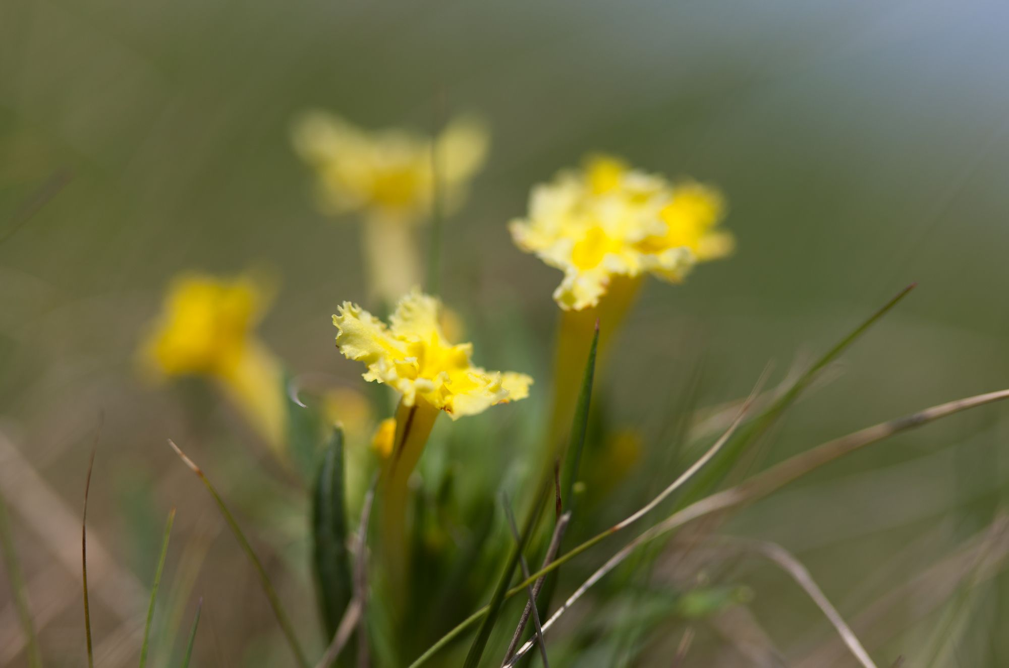 hoary puccoon.