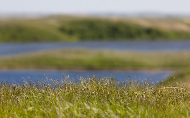 Closeup of prairie grasses with a prairie pothole in the distance.
