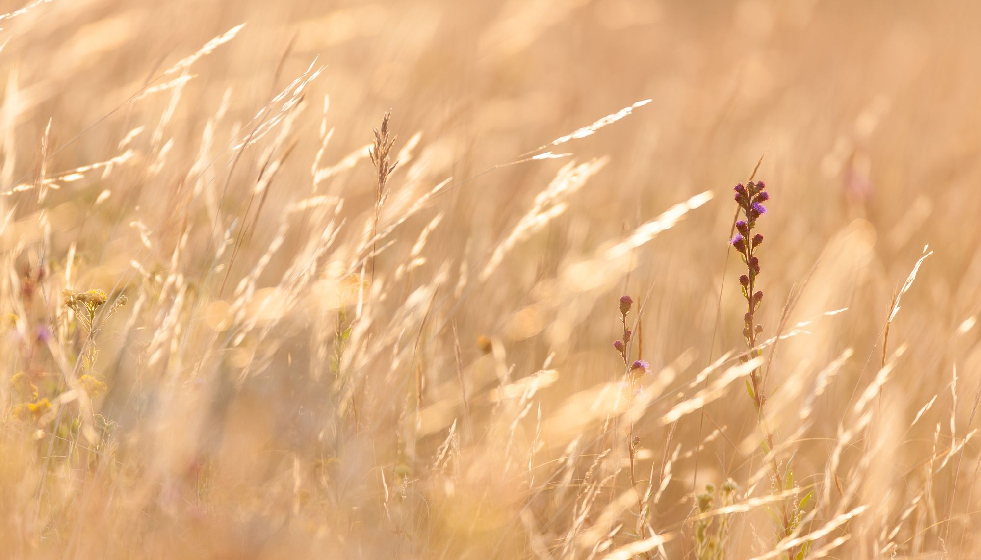 prairie grasses and flowers.