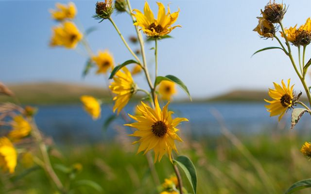 Maximilian sunflowers in bloom with a lake in the background.