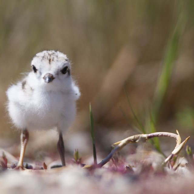 John E. Williams Preserve in North Dakota supports one of the largest breeding concentrations of this bird in the world.