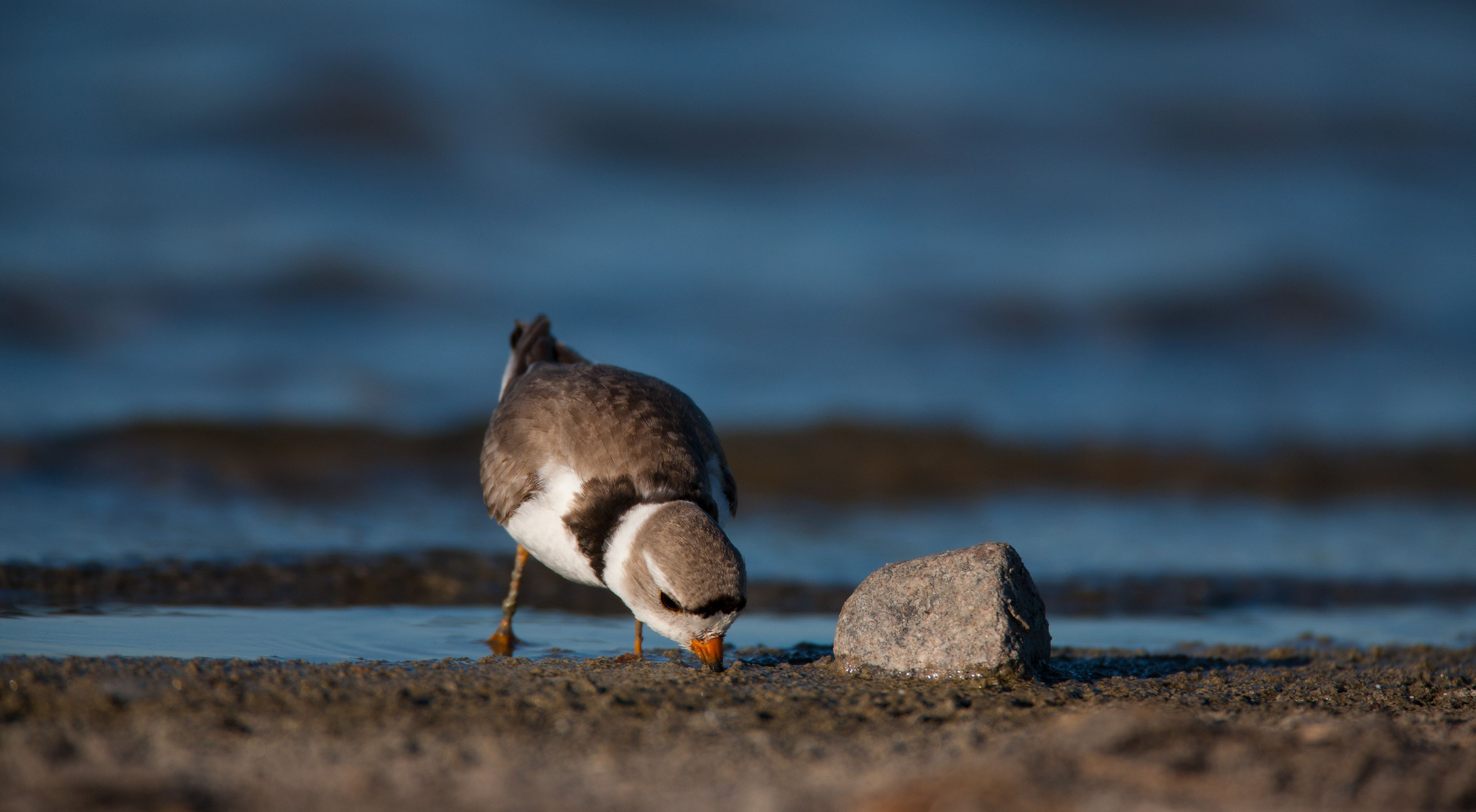 Piping plover on a beach in front of a lake.