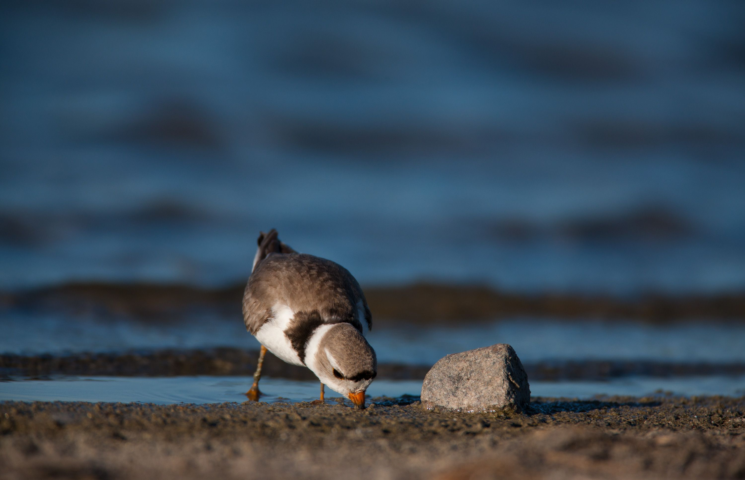 piping plover on a beach.
