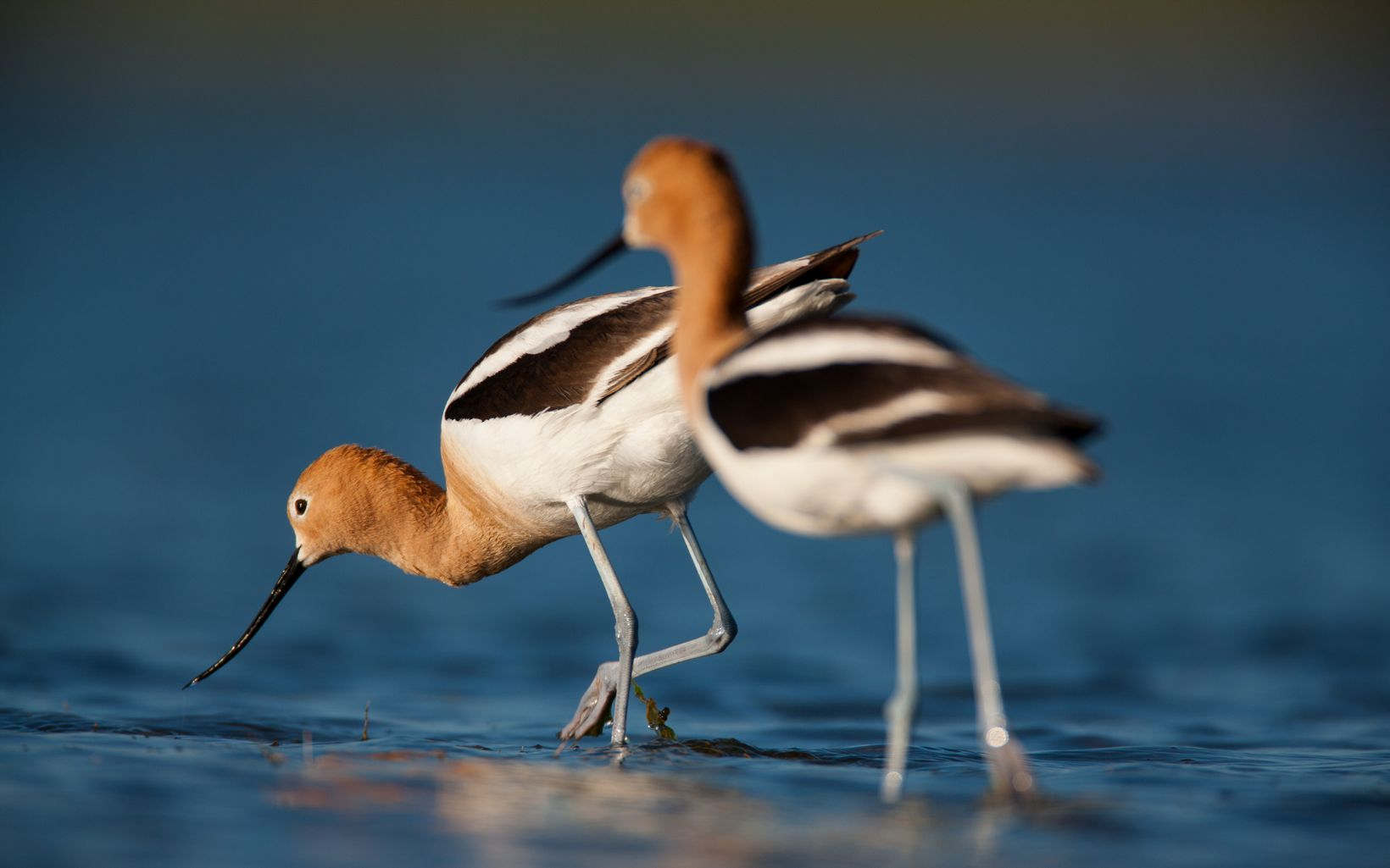 Two long-leg birds with long beaks, brown faces, white bodies and dark wings.