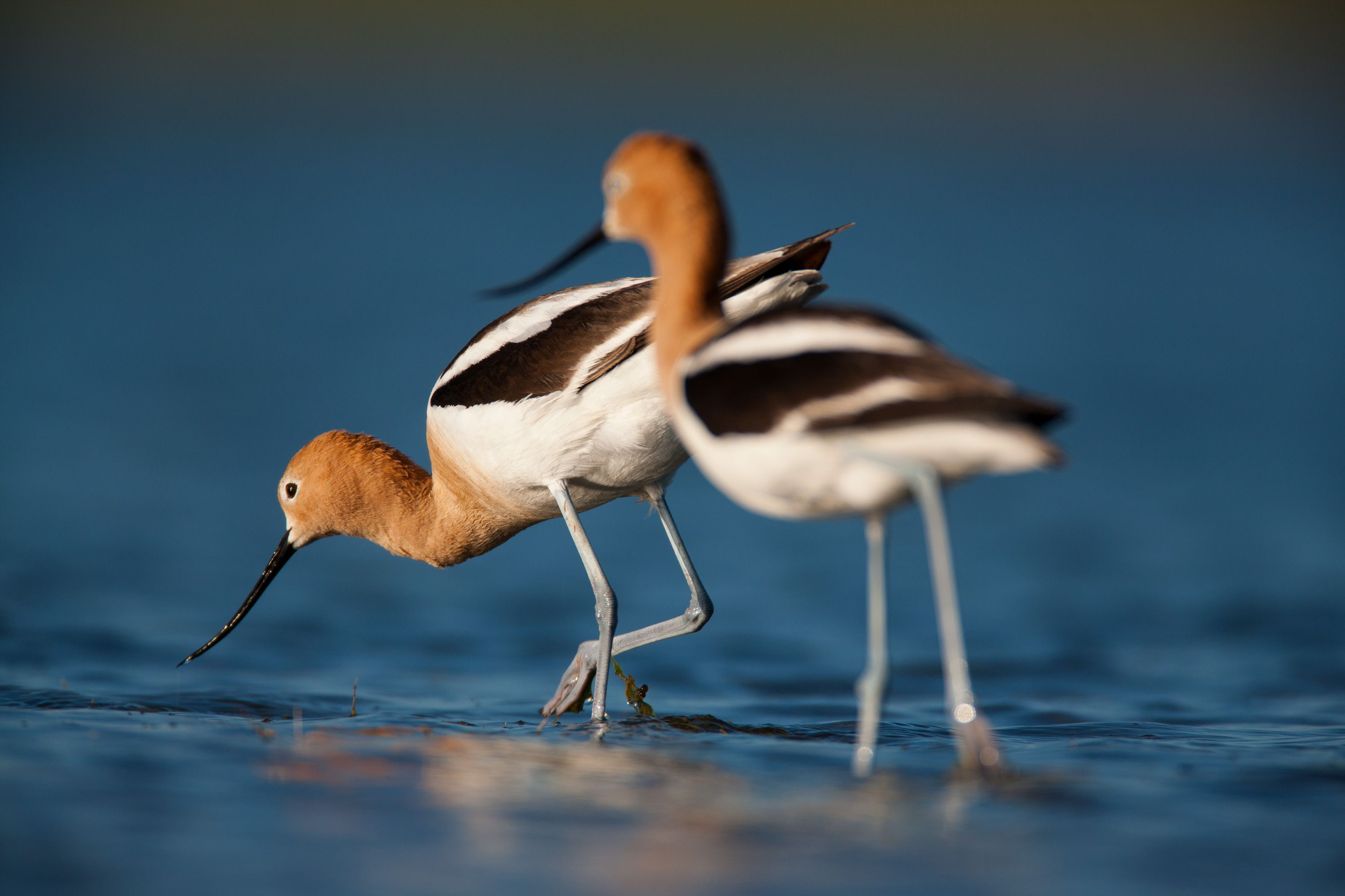 two avocets in water.