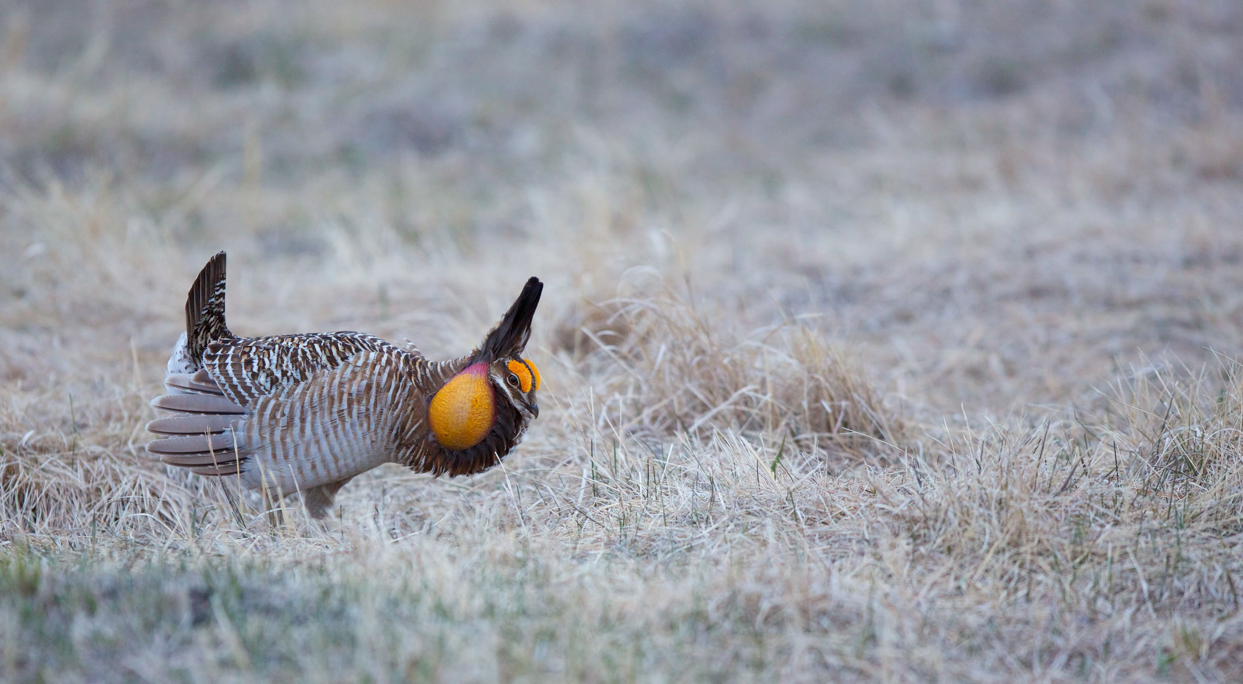 A brown chicken with yellow markings around it's head stands in yellow grass
