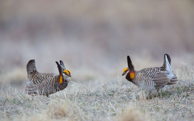 Two male greater prairie chickens face off in a courtship ritual. Both birds have raised neck and tail feathers and wings are straight back.