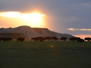 Bison gather in the Conata Basin at sunset.
