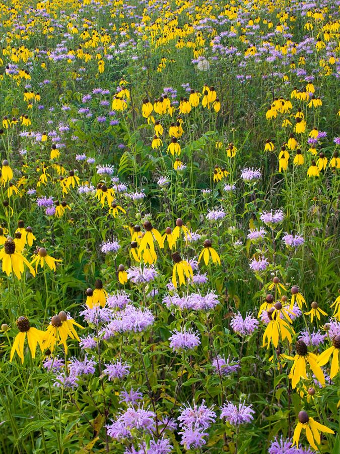 Yellow and purple wildflower cover a prairie.
