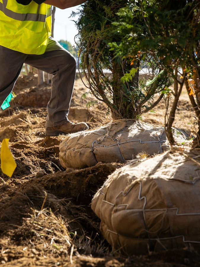 A tree being actively planted with worker's boot.