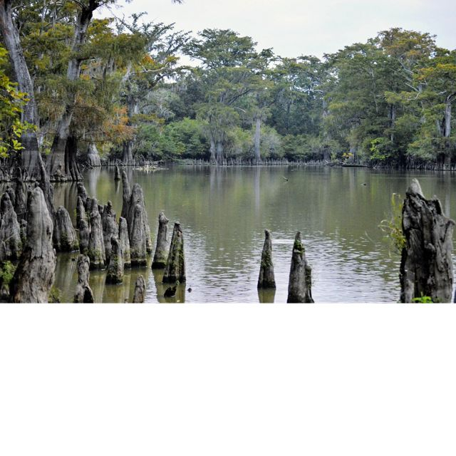 with cypress knees sticking up from the water.