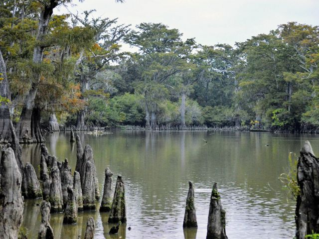 Mississippi delta wetland with cypress knees sticking up from the water.