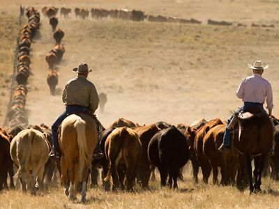 Two cowboys ride as they move a herd of cattle across the Matador Ranch grassbank.