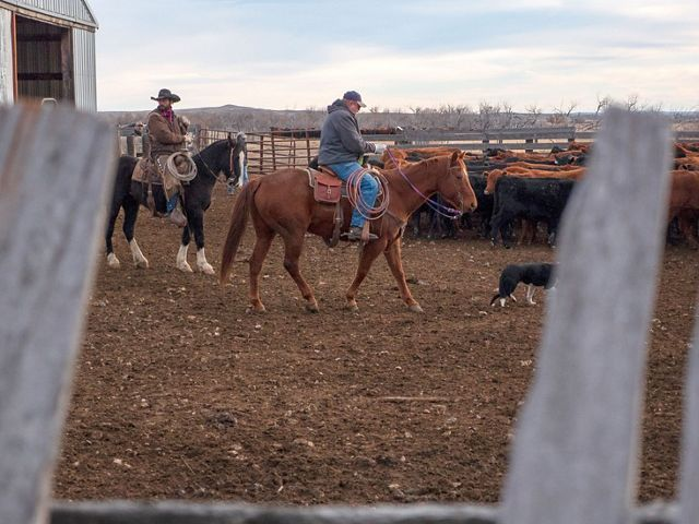 Ranchers herding cows on shipping day on Matador Ranch in Montana.
