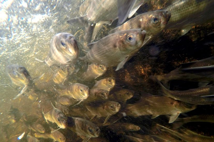 Underwater photo of a dense school of herring.