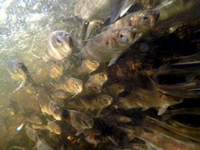 Unimpeded by dams or poorly designed culverts, these herring swim upstream to spawn in the Spring.