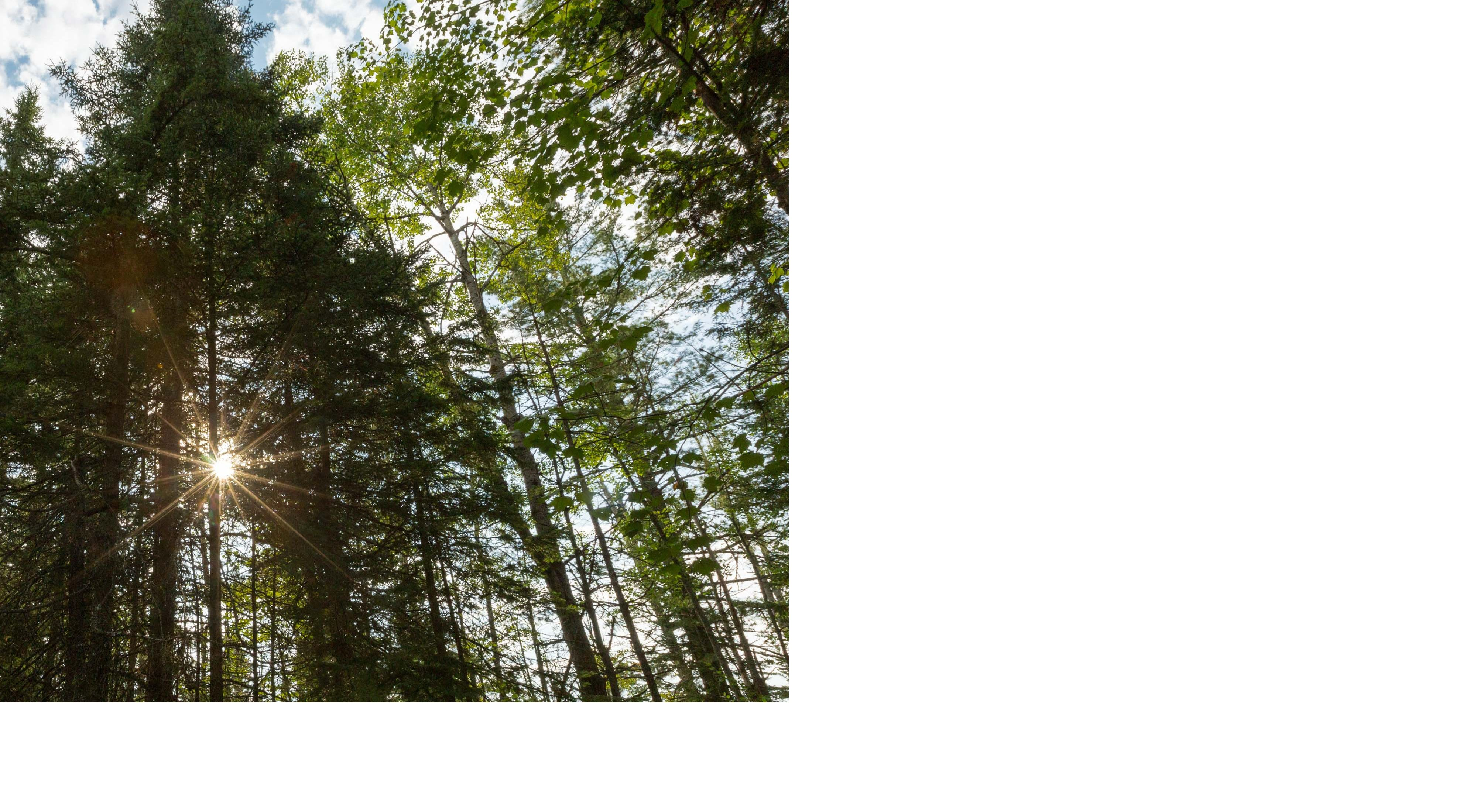 Tall pine trees reach for a cloud-spotted sky, while the sun shines between branches.