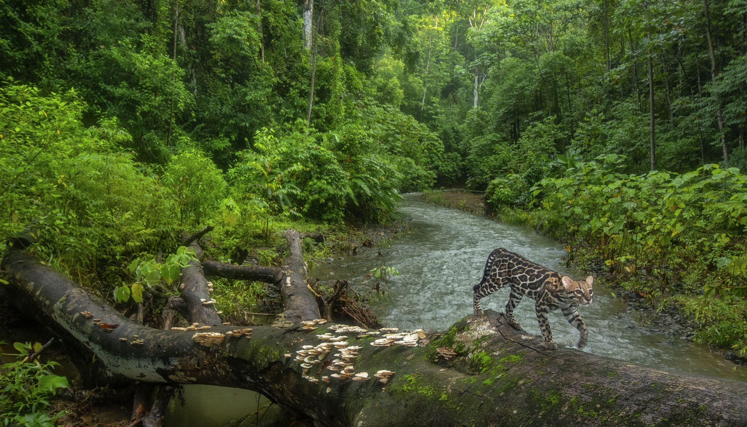 An ocelot crosses a creek on a fallen tree trunk