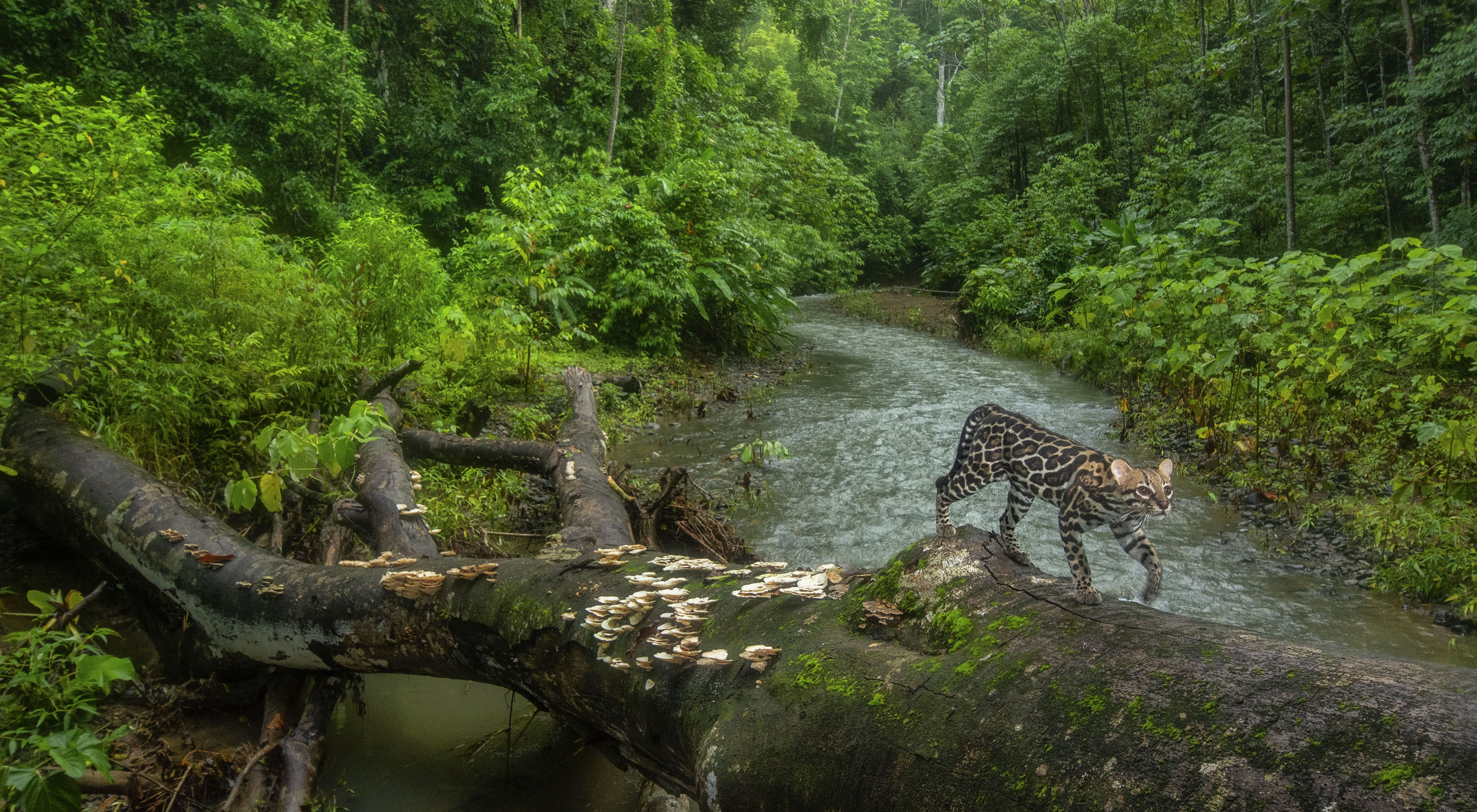 An ocelot uses a fallen tree to cross a creek in a forest