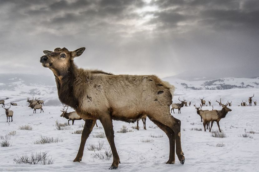 A herd of elk stands in a snowy landscape.
