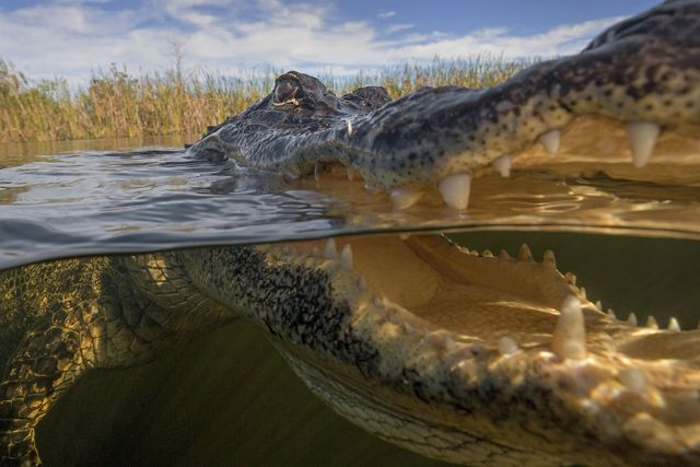 A closeup of an alligator floating in the water with its mouth open.