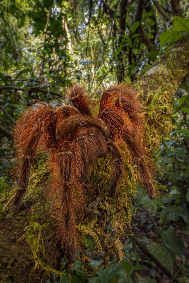A large, brown, hairy spider climbs on a tree branch.