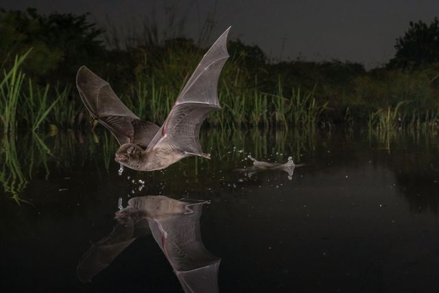 a bat flies just over the surface of water at night.