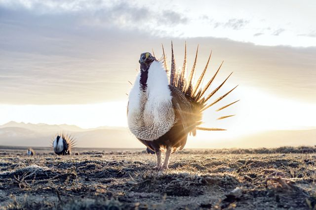 the sun rises behind a sage-grouse performing a mating ritual.
